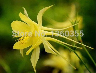 Eingemachte Blumensamen Aquilegia viridiflora, gelb Aquilegia, Akelei Samen, etwa 50 Teilchen