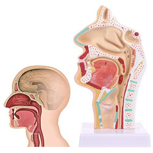 WJR Modelo de anatomia da cavidade nasal humana com marca digital, órgão humano, cavidade nasal, modelo de seção longitudinal da garganta, para exibição de estudos de ciências, ensino médico