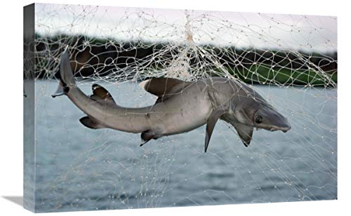 Pesca Ilegal en Redes de enmalle Ilegal, Academy Bay, Isla Santa Cruz, Islas Galápagos, Ecuador, Arte en Lienzo, 61 x 40,6 cm