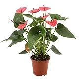 Anthurium andreanum   Rosa Flamingoblume   Höhe 40-45 cm   Topf-Ø 12 cm