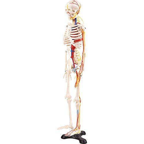 """Anatomie Modell """"Menschliches Skelett"""" mit Nerven I mittel, ca. 85 cm I geeignet als Lernmodell oder Lehrmittel zur Untersuchung von Funktion, Bau und Bewegung des Körpers"""
