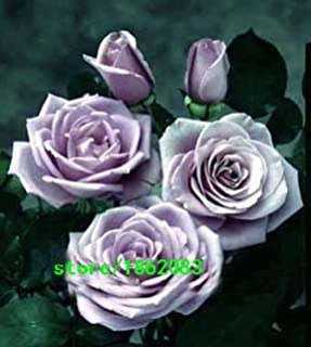 100 Sterling Silver Rose Seeds Romantic Color Good Gift for DIY Home Garden39;s Lover Bush Bonsai Yard Flower