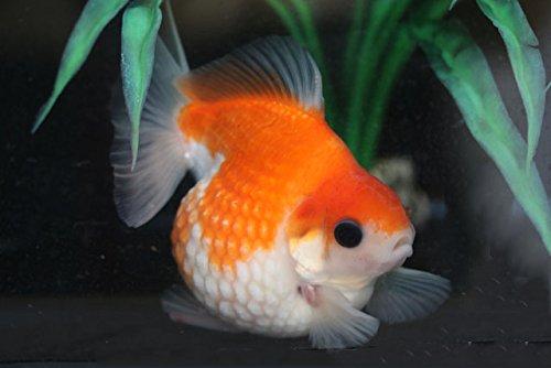 ☆国産金魚☆ 桜ピンポンパール 5匹セット 当才 全長約2~3cm (生体0511-13-3)