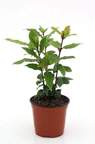 Lorbeer Pflanze , Gewürzlorbeer aus Nachhaltigem Anbau, frische Kräuter Pflanze 9cm Topf