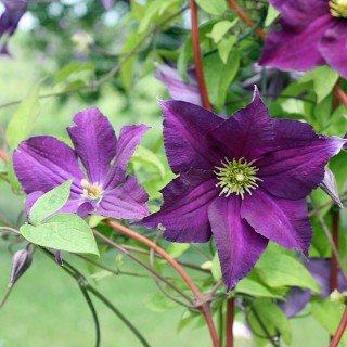 Clematis viticella 'Viola' - Schöne Kletterpflanze
