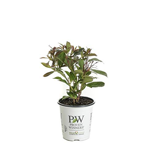 Wine & Roses Reblooming Weigela (Florida) Live Shrub, Pink Flowers and Dark Purple Foliage, 4.5 in. Quart