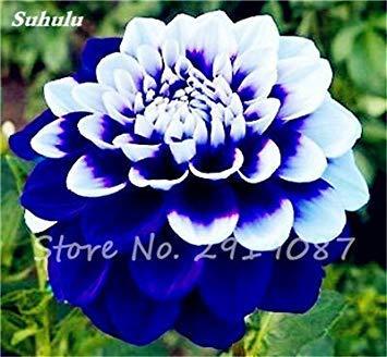 50 Pcs rares Graines Bonsai Dahlia (non Dahlia Bulbes) mixte en chinois Superbe fleurs Balcon Plante en pot Maison et jardin 20