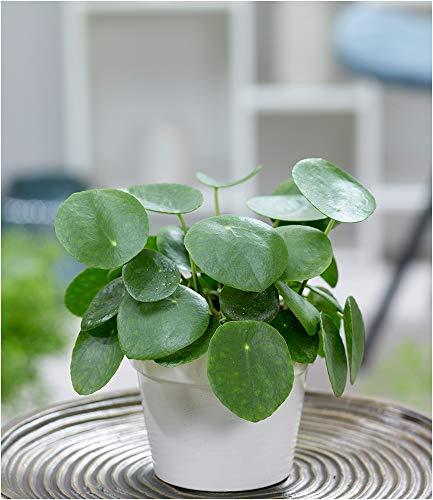 BALDUR-Garten Pfannkuchenpflanze, 1 Pflanze Chinesischer Geldbaum Pilea peperomiodes Zimmerpflanze