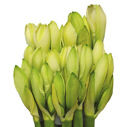 Echte Amaryllis Hippeastrum frische Schnittblumen - verschiedene Farben & Sets, riesige Blüten, pflegeleicht - prächtige Schnittblumen Ritterstern Blumen winterhart (3, Weiß)