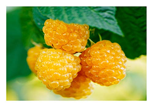 Gelbe Himbeere 2 Töpfe (Rubus idaeus 'Golden Everest')