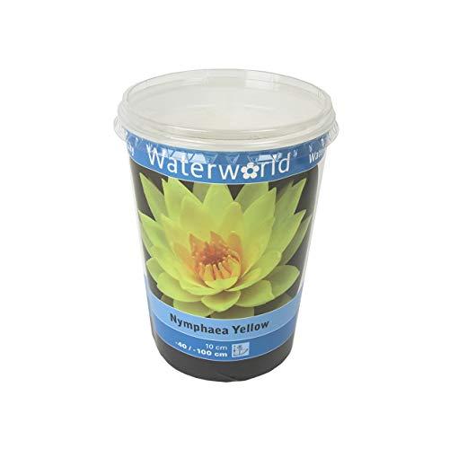 echte Seerosen im Teichpflanzen Set - bunte Farben und Zubehör für ihren Gartenteich oder als deko im Aquarium - tolle Auswahl an Wasserpflanzen und hohe Qualität (See Rose gelb)