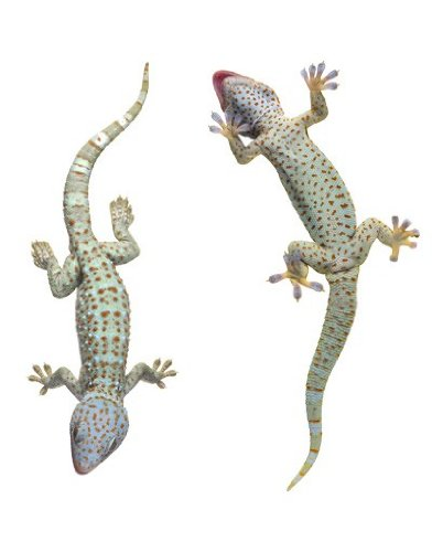 Apalis Fenstersticker Fensterfolie Neugierige Geckos Fensterbilder 33 x 30cm