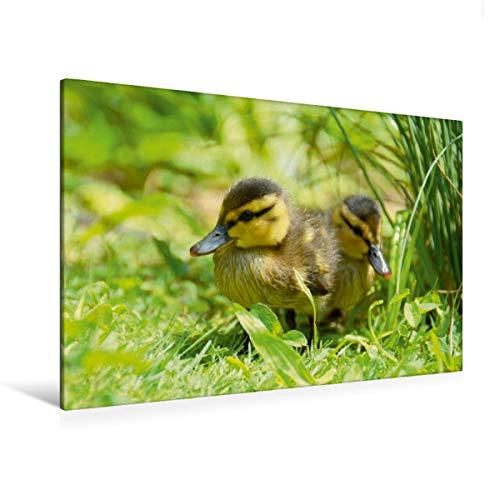 Premium - Lienzo (120 x 80 cm, horizontal, imagen sobre bastidor, lienzo auténtico, impresión sobre lienzo, diseño de pequeños patos en la pradera (CALVENDO Tiere);CALVENDO Animales