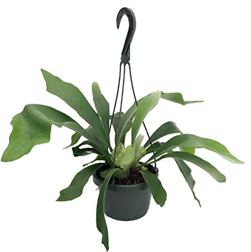 """Staghorn Fern 6.5"""" Hanging Plant - Exotic House Plant"""