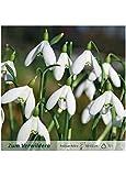 mgc24® Schneeglöckchen Galanthus woronowii einfach - 25 Blumenzwiebeln (ca. 6-7mm)