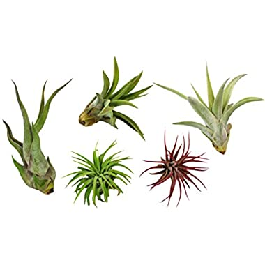 Variety Pack of Small Tillandsia Air Plants, Assortment of Exotic, Low Maintenance Live Air Plants Including Ionantha Rubra, Caput-Medusae, Harrissi, Velutina, & Ionantha Fuego Plants! (Set of 5)