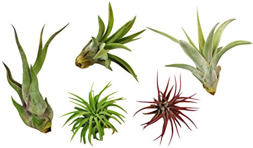 Variety Pack of Small Tillandsia Air Plants, Assortment of Exotic, Low Maintenance Live Air Plants...