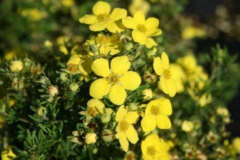 Keland Garten - 15pcs Fingerstrauch Potentilla 'Goldteppich' / 'Goldkissen' Bodendecker, Baumsamen Blumensamen winterhart mehrjährig