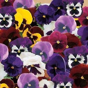 50 graines de Mix Pansy Majestic II géant Graines de fleurs