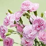発芽種子:100新しい到着!レアカーネーションの種バルコニー鉢植えの花の種子植物