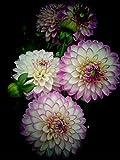 Dalias bulbos,FloracióN Larga Hermosa Y Hermosa FloracióN,Varios Tipos De Plantas Perennes En Macetas.-1,5bulbos