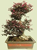 Loropetalum Chinense var. exótico bonsai semillas de plantas raras rubrum 'Daruma' -5 semillas
