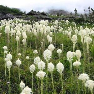 Ours herbe Semences de l'herbe d'ornement (Xerophyllum Tenax) 200 + Graines
