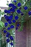 Shopvise 100Pcs Blu rose rampicanti, semi di arrampicata, semi di fiori Sementi di fiori