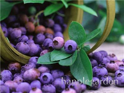 Bloom Green Co. Vente! 100 Pcs/sac bonsaïs aux bleuets comestibles de plantes fruitières Heirloom Bio Nain Blueberry Bonsaï Plante en pot pour jardin: 6