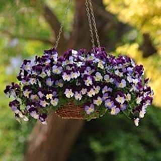 cool wave violet wing pansy