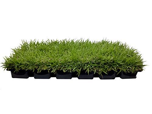Zoysia Sod Plugs - Large 3  x 3  Plugs - 18 Count Tray - Drought, Salt & Shade Tolerant Turf Grass