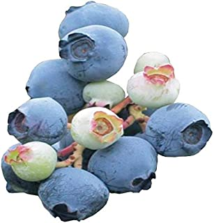 Powder Blue Blueberry Bush - Edible Fruit Berry - Hardy Perennial - Gallon Potted - 1 Plant by Growers Solution