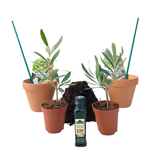 - PePePlant - Pack PREBONSAI Olivo Baby (Olea Europea) | Kit con 2 plantas baby, 2 macetas, turba y stick tutor. Bonsai olivo natural para interior o exterior. Más rápido y fiable que las semillas.