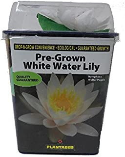 Pre-Rooted! Live Aquatic Plant, Hardy Pre-Grown White Water Lily Nymphaea Venusta (1 each)