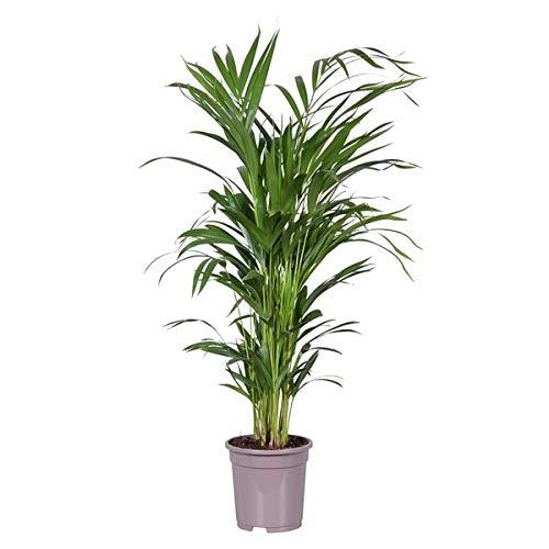 Palmera de Interior Natural Grande Altura 85-90cm Palma Areca Dypsis Lutescens Planta de Interior