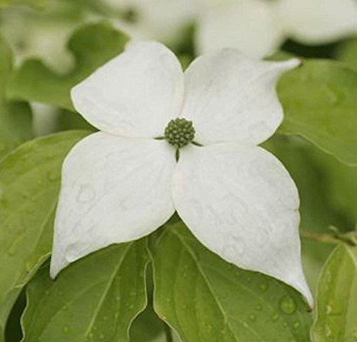 Japanischer Blumenhartriegel Teutonia...