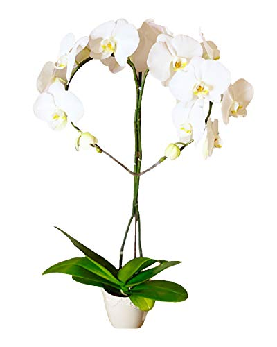 Earthly Orchids Live Orchid Plant - Heart White