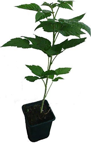 Himbeere Sugana ® Pflanze neue Herbsthimbeere