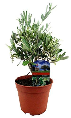 Olivenbaum, Stamm, (Olea europea), Tragen dieses Jahr Oliven, kräftige Bäume, (ca. 30cm hoch, im ca. 12cm Topf)