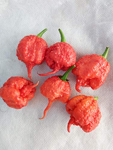 100 Pcs Poivre Carolina Reaper Trinidad Moruga Hot Chili Graines Bonsai