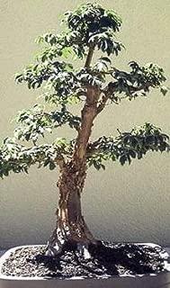 chinese paperbark maple