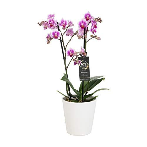 Orchidee von Botanicly – Schmetterlingsorchidee in weißem Keramiktopf als Set – Höhe: 45 cm, 2 Triebe, rosa-weiße Blüten – Phalaenopsis Pixie