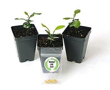 "Kaffir Lime Tree Starter Set Citrus Hystrix Makrut Lime 2"" - 4""  3 Plants"