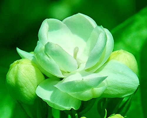 Jazmín Semillas Natural Fragante Flores Secas Impresionante Bonito Y Lindo Vista Al JardíN-500 Pcs