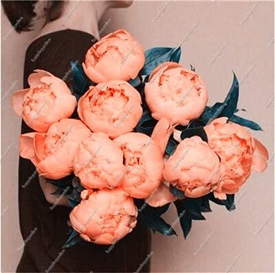 10 pcs Chinese Peony Tree Seed Plant for Balcony Garden Flowers, Exotic Paeonia suffruticosa Wedding Decoration - (Color: 6)