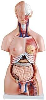 FEIGER Torso anatomico del Corpo Umano Modello 002