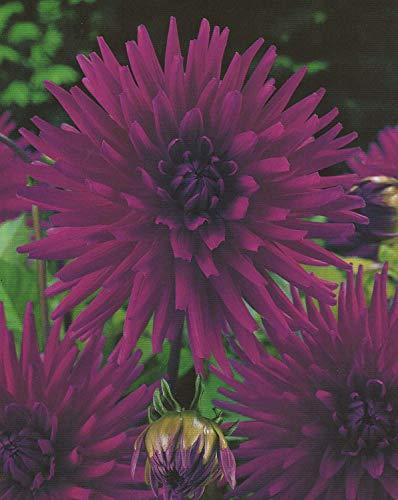 Kaktus Dahlien Purple Gem Knolle Blumenzwiebel (1)
