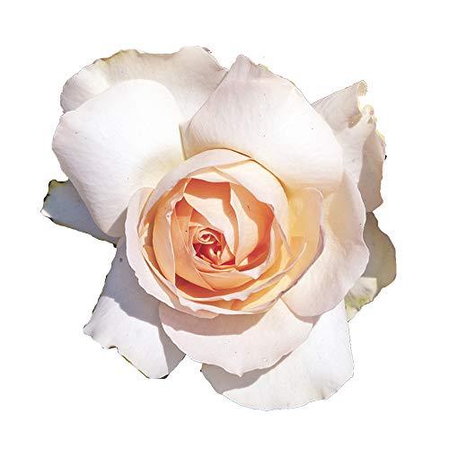 Sans Souci®, rosaio vivo Rose Barni®, rosa color crema rosato, pianta vigorosa a ricco fogliame,...