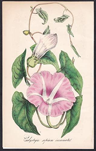 Calystegia sepium incarnata - Zaunwinde flower Blume flowers Blumen botanical Botanik botany