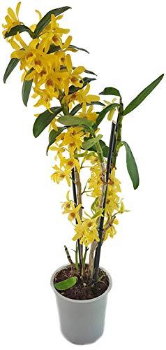 Fangblatt - Dendrobium Stardust chiyomi Gr. XL - große Traubenorchidee mit strahlend gelben Blüten - sehr schöne Zimmerpflanze